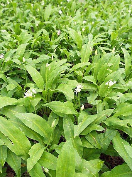 Все о черемше- что за растение, как выглядит, полезные свойства и витамины