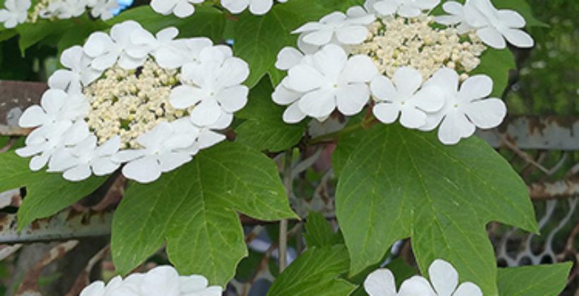 Цветки калины: лечебные свойства и противопоказания
