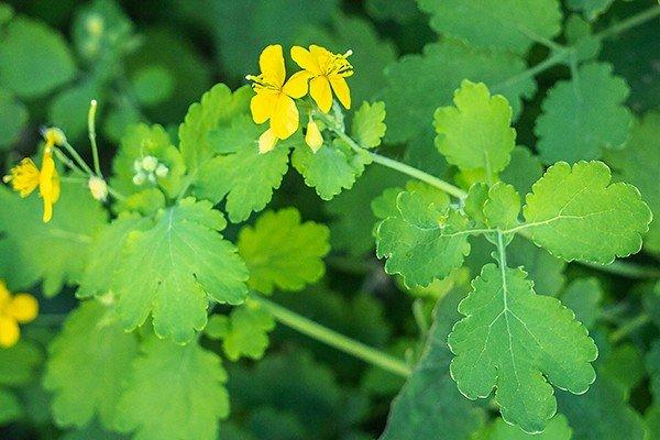 Чистотел: цветок и листья