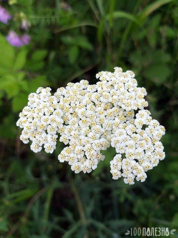 Тысячелистник: фото цветов крупно