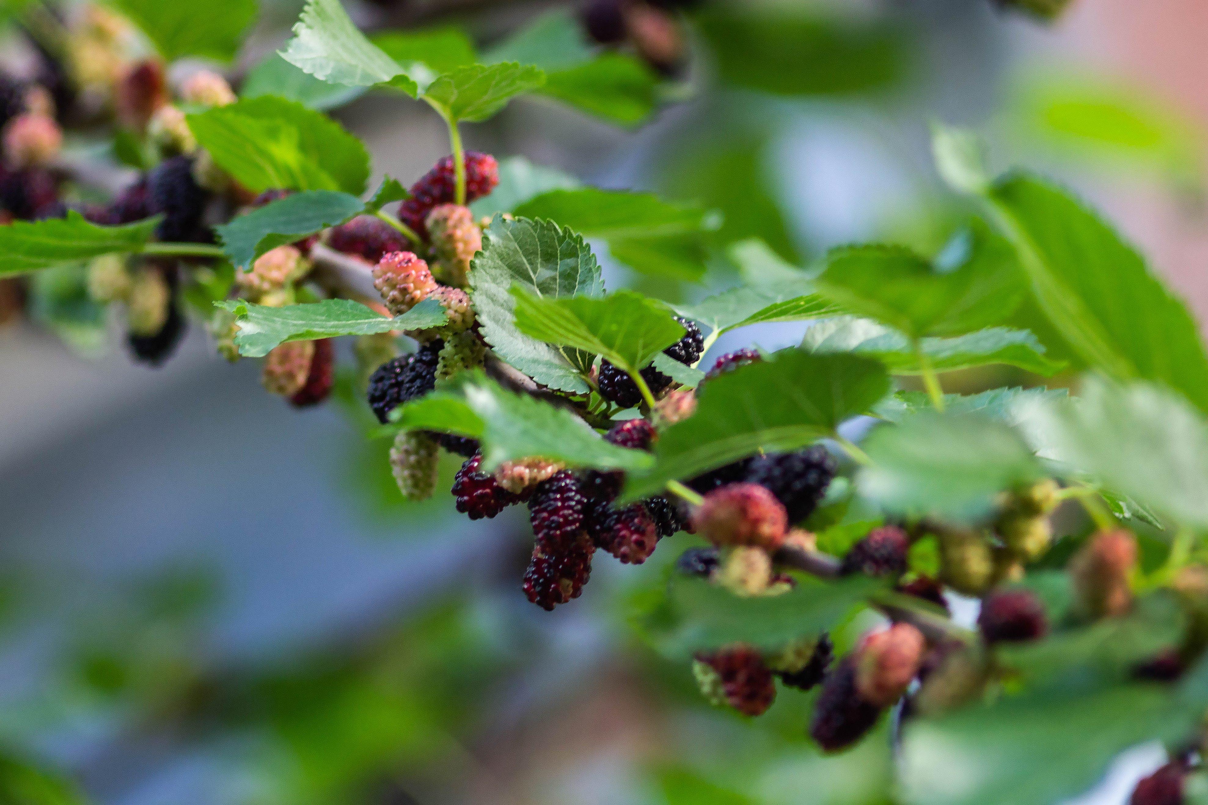 Шелковица черная на дереве