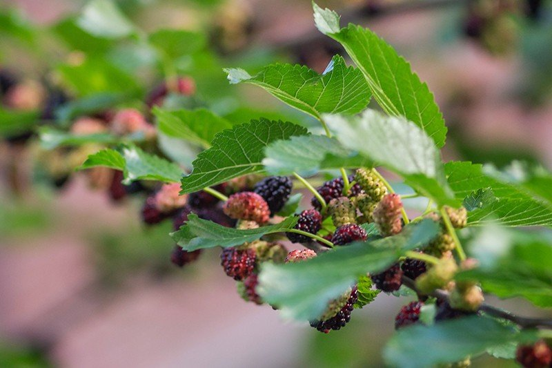 Шелковица фото листьев и ягод