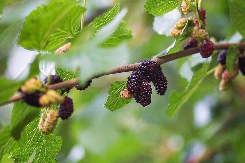 Шелковица фото ягода