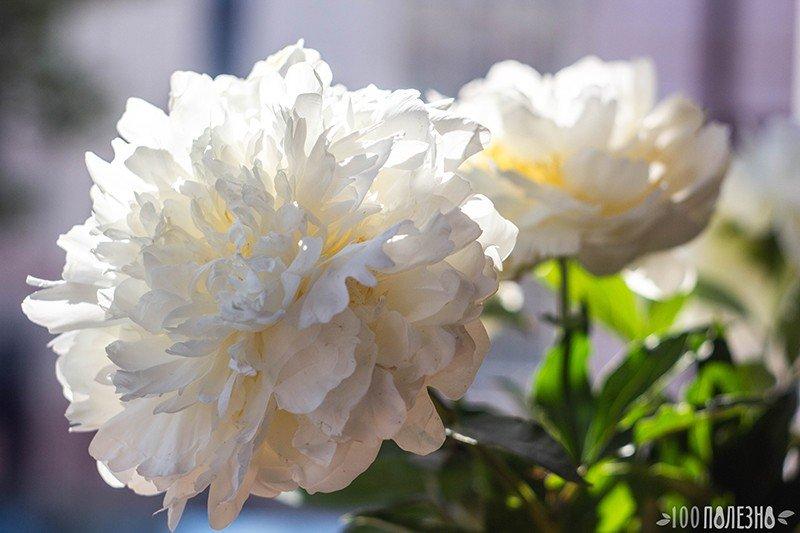 Цветущий пион