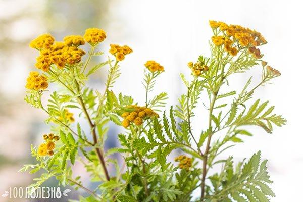Стебли пижмы с листьями и цветами