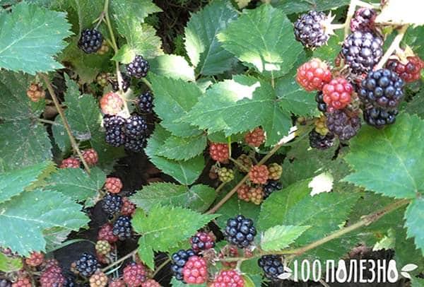 Ежевика фото ягод на ветке