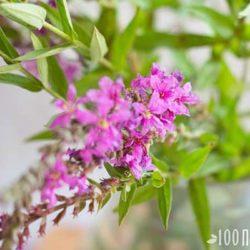 Иван-чай: целебные свойства старинного напитка