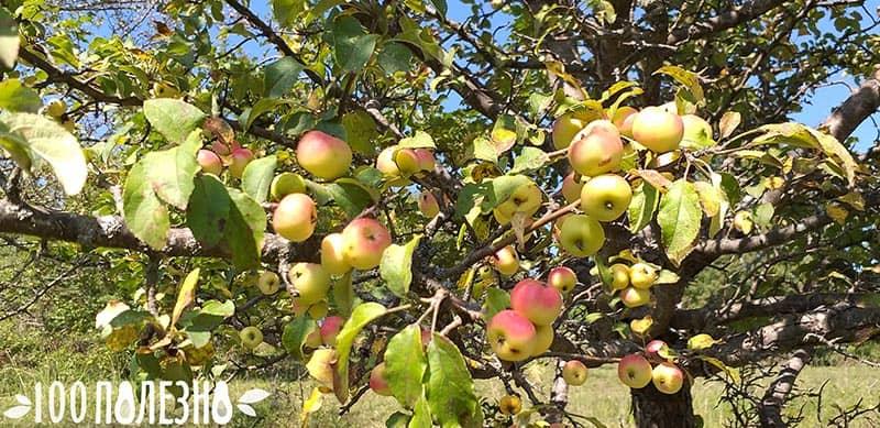 яблоки лесные на дереве