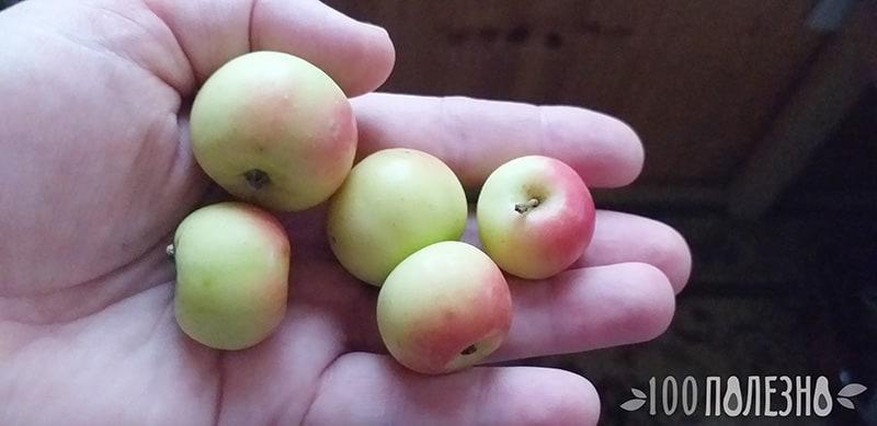Яблоки лесные на ладони