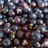 Черная смородина: полезные свойства и противопоказания, применение ягоды