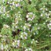Чабрец: лечебные свойства и применение волшебной травки