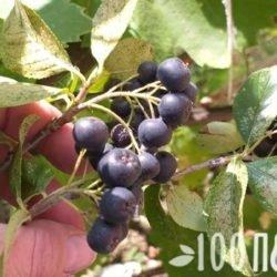 Рябина черноплодная: полезные свойства и противопоказания к применению ягоды – рецепты, целебная сила