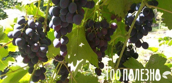 созревающий виноград на лозе