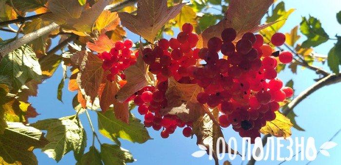 ягода калина на дереве