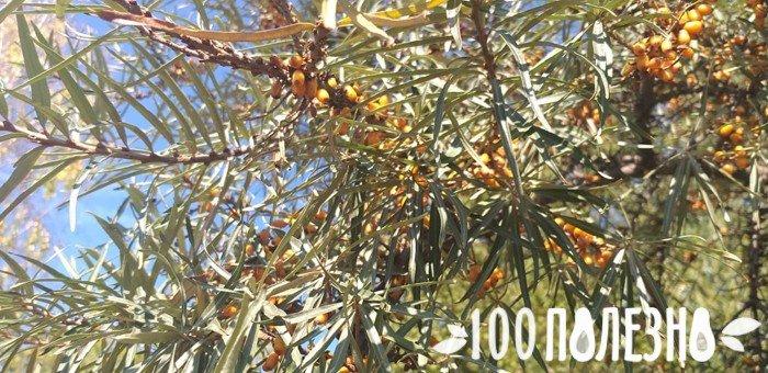 ягоды на дереве облепихи