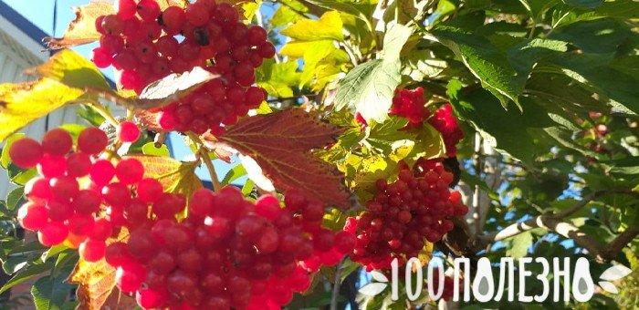 ветка калины с плодами