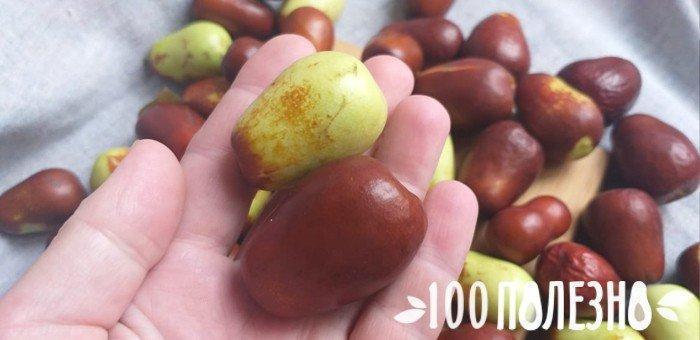 плоды крымского зизифуса на ладони