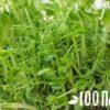 Микрозелень: как выращивать в домашних условиях — легко!