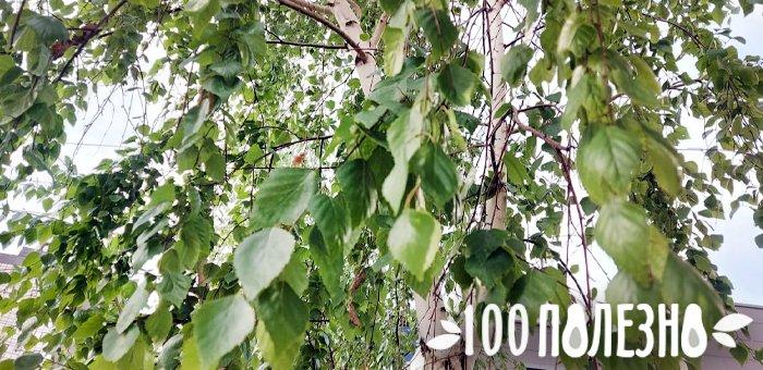 дерево для сбора березового сока