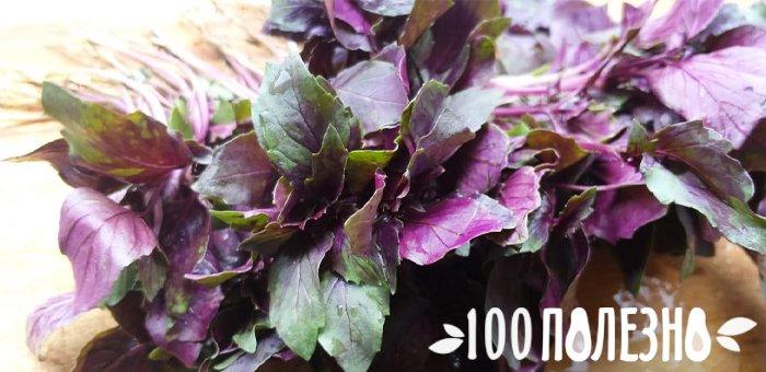 фиолетовые листья базилика