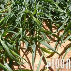 Тархун: польза и вред для здоровья изумрудной травки